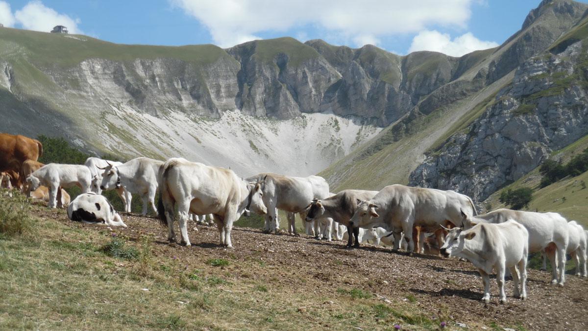 Mucche al pascolo presso la sorgente di val di Bove